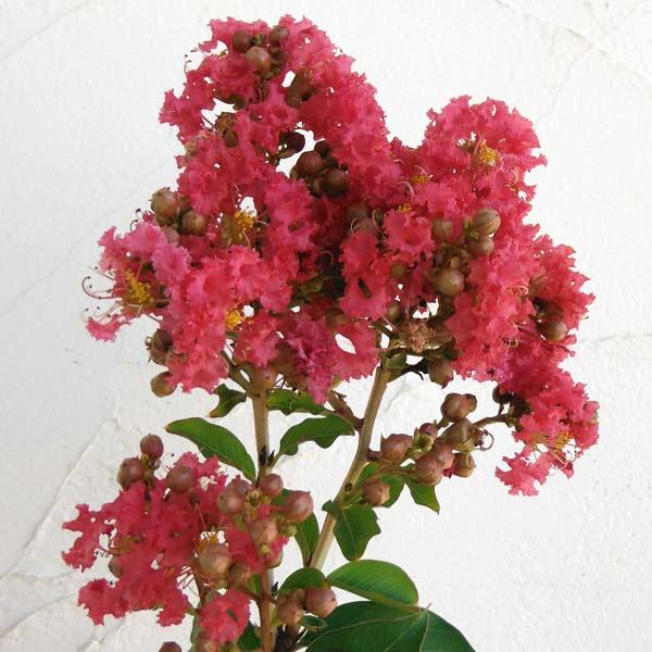 花木 庭木の苗/サルスベリ:タスカローラ7号ポット樹高1.2~1.5m