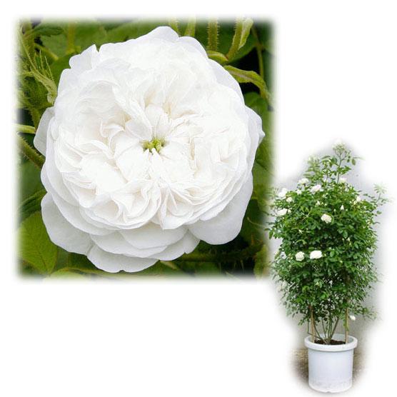 バラの苗/[送料無料]つるバラ:マダム・ハーディー8号大型アンドン仕立て