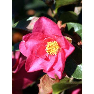 花木 庭木の苗/サザンカ:紅花5号ポット樹高80cm 15株セット