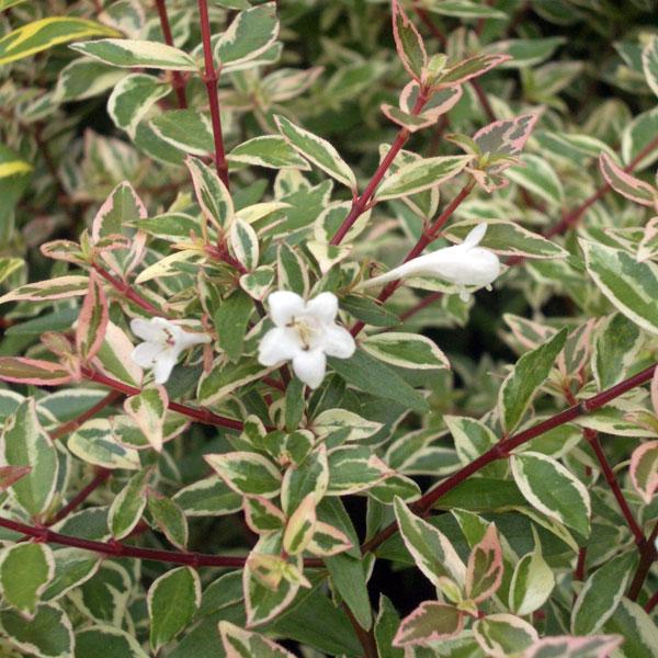 花木 庭木の苗/アベリア:コンフェッティ5号ポット樹高20cm 12株セット
