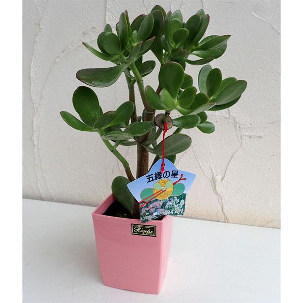 カゲツ 観葉植物/金のなる木:五縁の星(ゴエンノホシ)4号鉢植え
