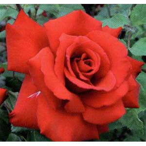バラの苗/[送料無料]つるバラ:グランデアモーレ8号大型アンドン仕立て