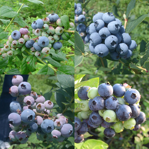 果樹の苗/[送料無料]ブルーベリー:西日本向きラビットアイ系品種ミックス5号ポット10株セット