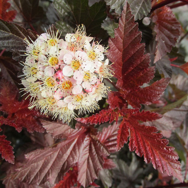 花木 庭木の苗/テマリシモツケ:レディインレッド8~9号ポット樹高1~1.2m