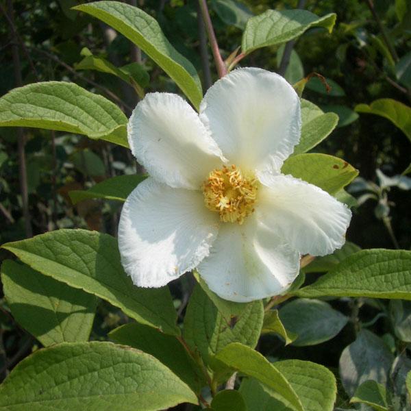 花木 庭木の苗/ナツツバキ(夏椿・シャラ):白花株立ち(寄せ株)樹高1.5m根巻き