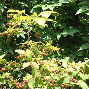 花木 庭木の苗/ナツハゼ株立ち根巻き樹高1~1.2m