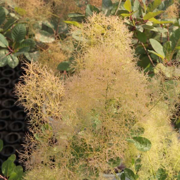 花木 庭木の苗/スモークツリー:ヤングレディ8号ポットまたはルートバッグ樹高1m