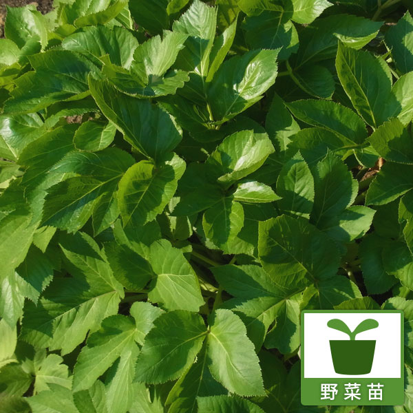 即出荷 野菜の苗 買い物 アシタバ 明日葉 3号ポット2株セット