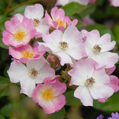 バラの苗/[送料無料]つるバラ:バレリーナ8号大型アンドン仕立て