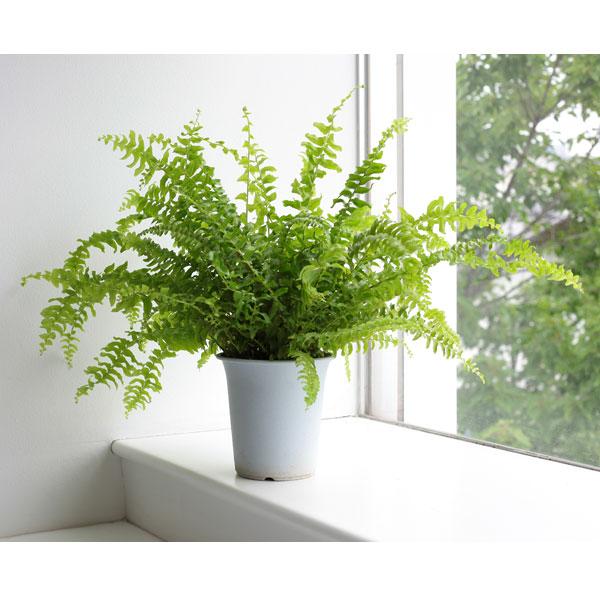 ツデージュニア・シダの仲間の観葉植物 観葉植物/ネフロレピス・ツデー4号鉢植え