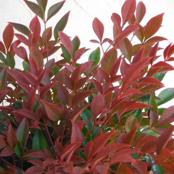 花木 庭木の苗/ナンテン(南天):オブセス5号ポット 8株セット