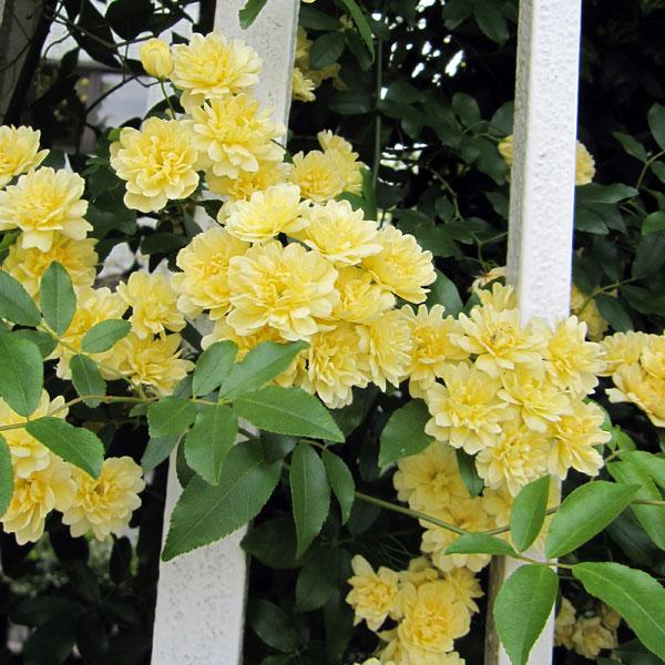 長尺つるもの:モッコウバラ黄花八重5号ポット長さ1.2~1.5m10株セット
