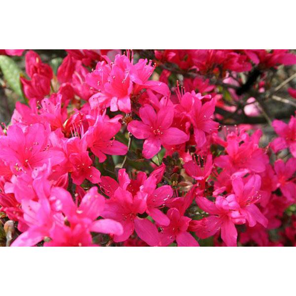 花木 庭木の苗/平戸ツツジ:紫花一重5号ポット15株セット