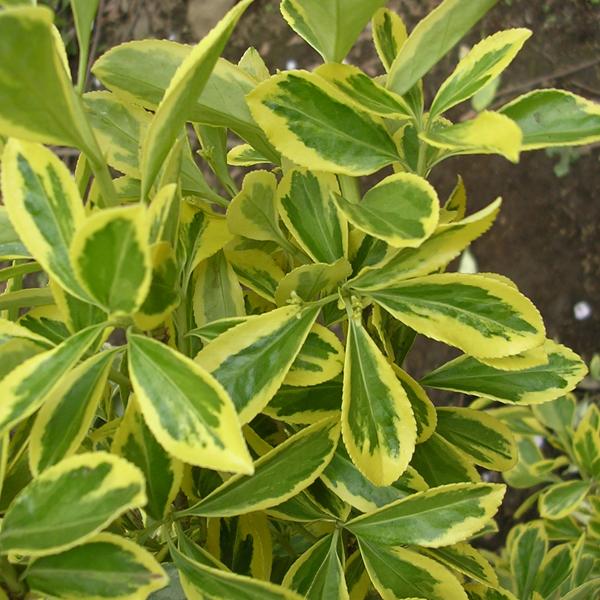 花木 庭木の苗/マサキ(柾):金マサキ(外斑)5号ポット6株セット
