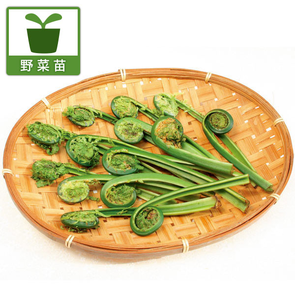野菜の苗/コゴミ(クサソテツ)3.5号ポット24株セット