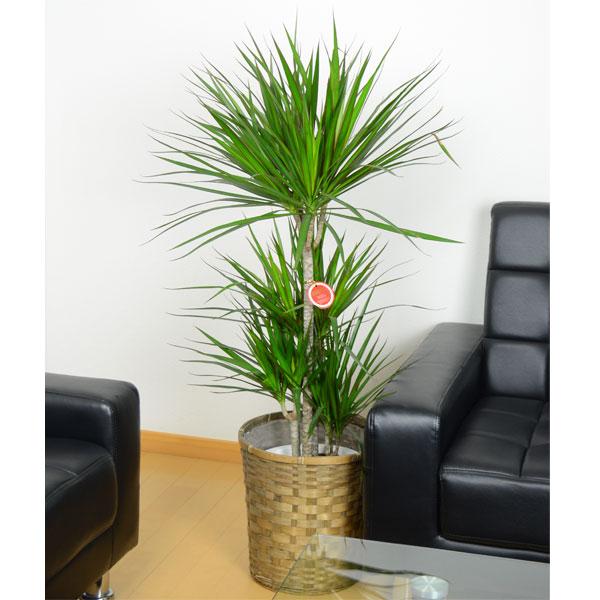 観葉植物/[送料無料]観葉植物:ドラセナ コンシンネ8号鉢植え・カゴ入り