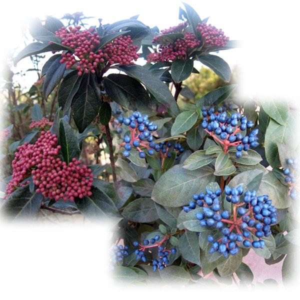 花木 庭木の苗/ビバーナム:ティヌス樹高1.2m根巻きまたは地中ポット