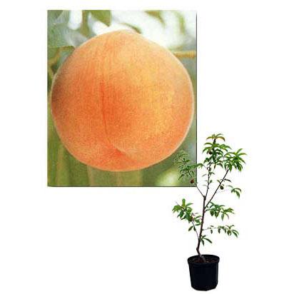 果樹の苗/鉢植え果樹 モモ(桃):サンゴールド 8号鉢植え