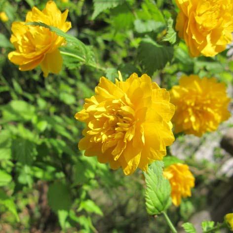 花木 庭木の苗/ヤマブキ(山吹):八重咲ヤマブキ3.5号ポット20株セット