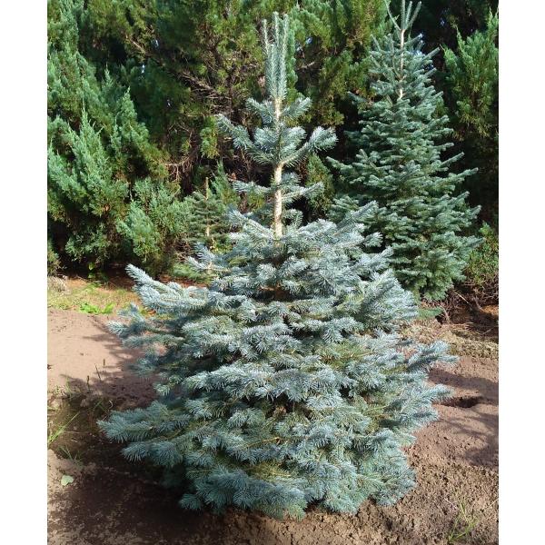 花木 庭木の苗/アルプスモミ:アリゾニカ7号ポット樹高30cm