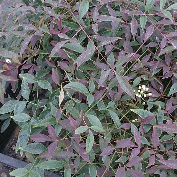 花木 庭木の苗/ナンテン(南天):フルート5号ポット 8株セット