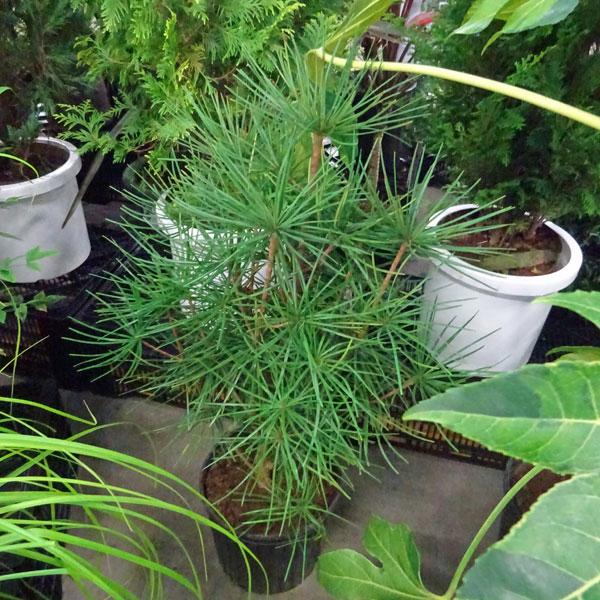 花木 庭木の苗/コウヤマキ:7号ポット樹高70~80cm