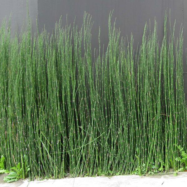 和風庭園の丈夫な下草 日陰でも育つ グランドカバーに 授与 草花の苗 トクサ ショッピング 木賊 :3.5号ポット2株セット