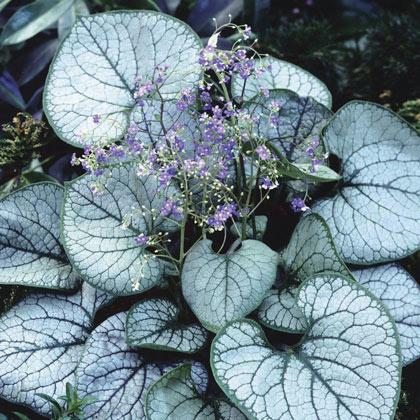 草花の苗/ブルンネラ:マクロフィラ ジャックフロスト3.5号ポット12株セット