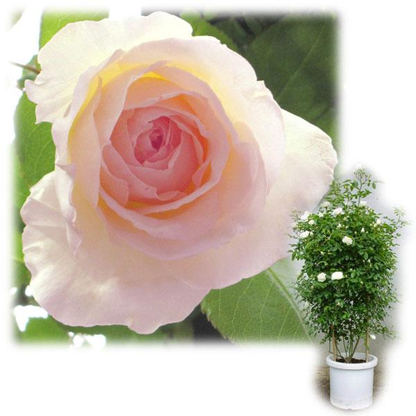 バラの苗/[送料無料]つるバラ:ニュードーン8号大型アンドン仕立て