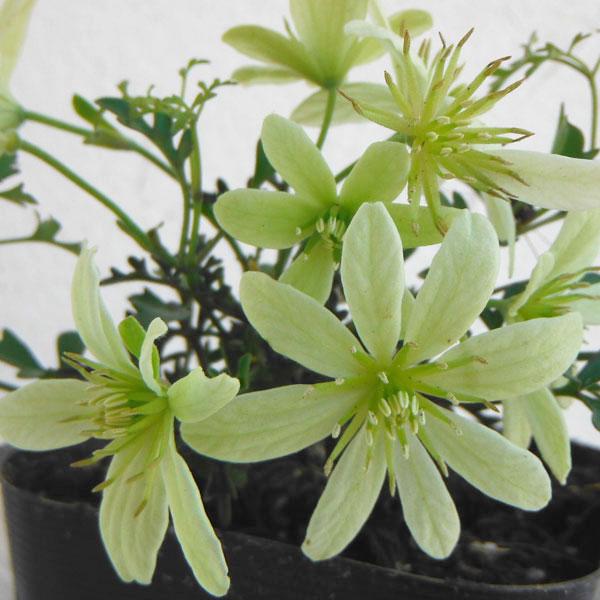春にライムホワイトの花をたくさん咲かせる鉢植え向きの品種 クレマチスの苗 初売り 21年9月中下旬予約 予約販売 3~3.5号ポット ペトレイ クレマチス:ペトリエイ