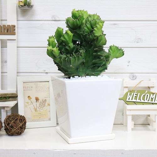 現品 ユーフォルビア フランキアナ 綴化 Euphorbia franckiana f.cristata 遊仙窟 多肉植物 陶器鉢仕立 遊仙窟 綴化 観葉植物 サボテン 多肉植物 希少 珍しい テーブルグリーン かわいい おしゃれ 送料無料