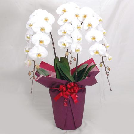 【送料無料】豪華な大輪の花は各種お祝いにおすすめです 胡蝶蘭 3本立ち 陶器鉢 ラッピング 36輪 白系