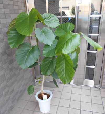 観葉植物 ウンベラータ(七号鉢)