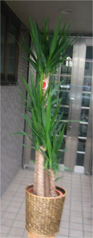 大型観葉植物 ドラセナ ユッカ