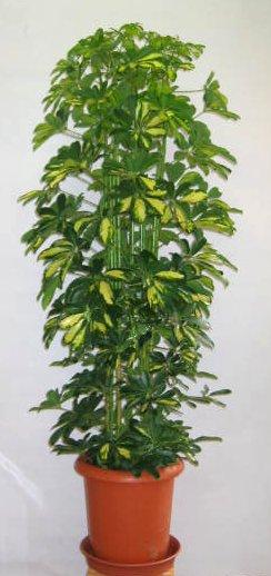 シェフレラ大型観葉植物 ホンコンカポック