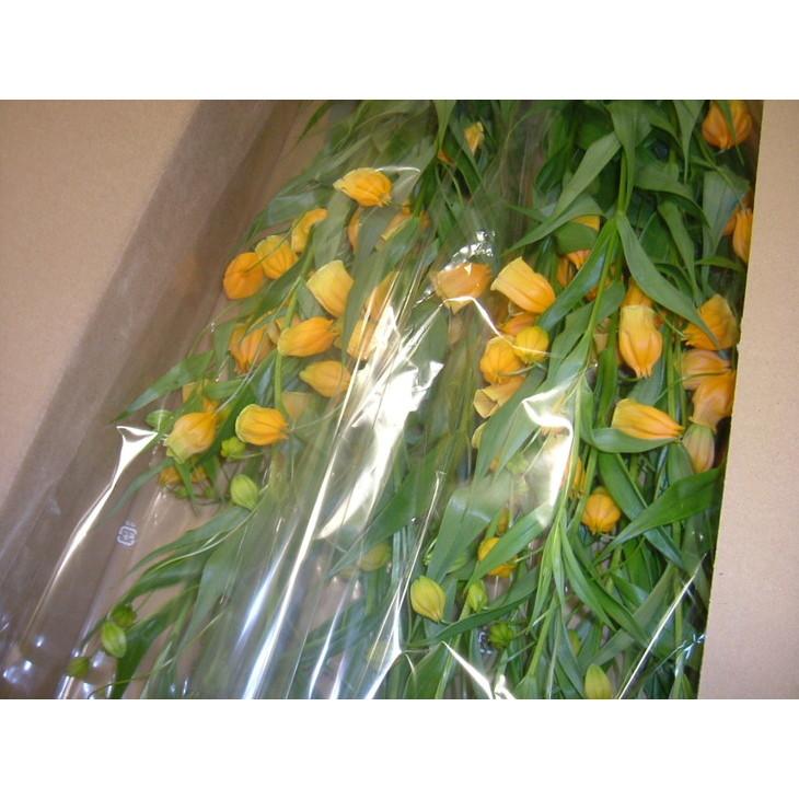 【ふるさと納税】北海道名寄市 JA道北なよろ サンダーソニア「氷点花」