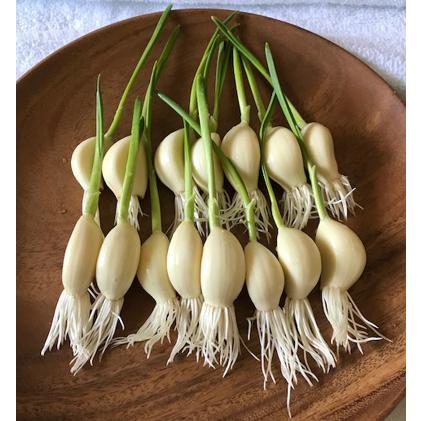 【ふるさと納税】レディーガーリック 水耕栽培発芽にんにく 【野菜・根菜】