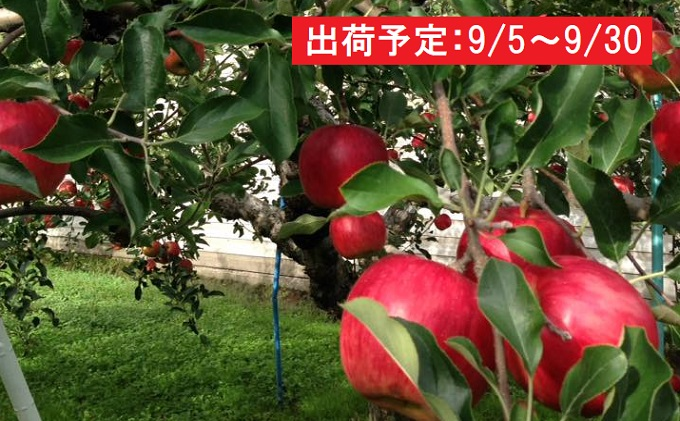 【ふるさと納税】9月 土岐りんご園 家庭用サンつがる約10kg 【果物・フルーツ・くだもの・林檎・林檎】 お届け:2019年9月5日~2019年9月30日