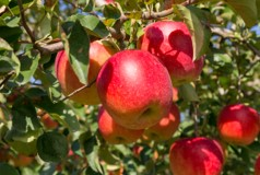 ふるさと納税 FY18-398 即出荷 ご自宅用 山形産 ふるさと割 ふじりんご 15kg