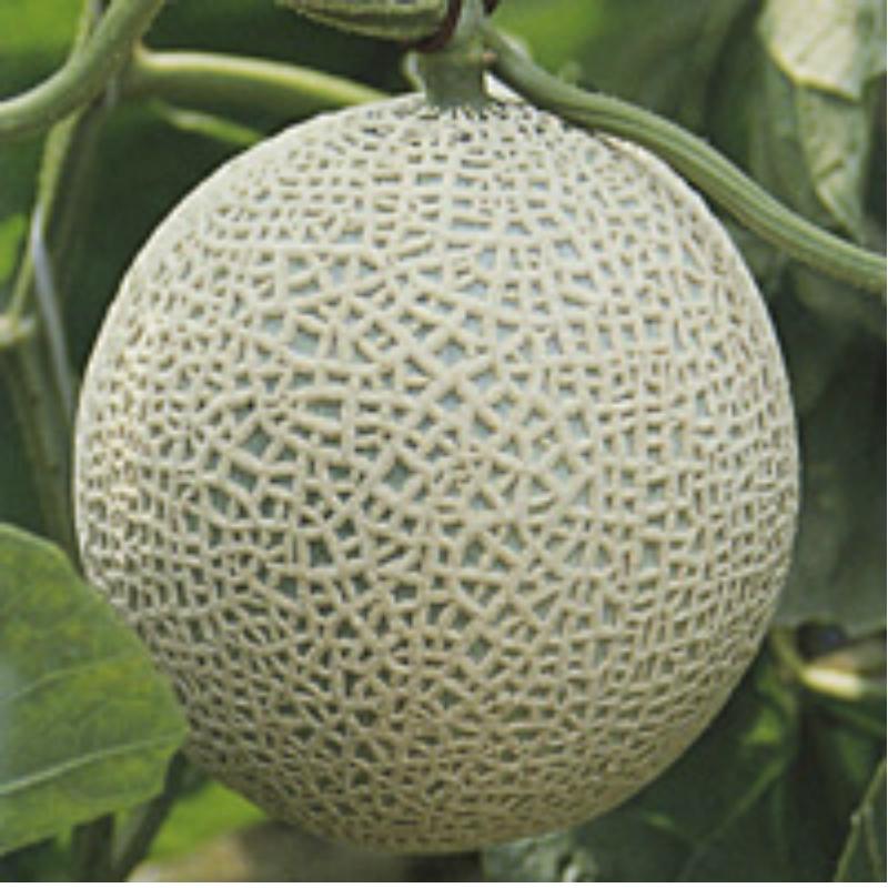 【ふるさと納税】温室メロン 令和二年産 2020年産 アールスナイト 2玉 優以上 4kg以上入 果物 送料無料