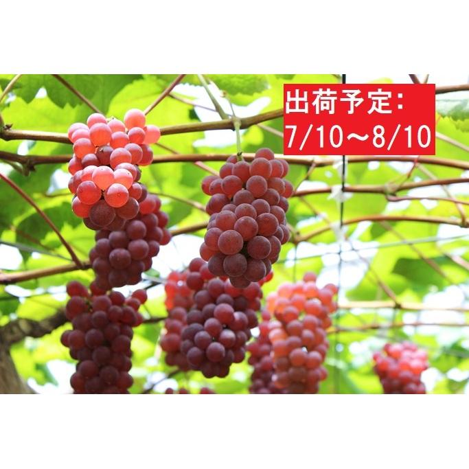 【ふるさと納税】【盆前】種無しデラウェア約3kg秀L~2L 大江町産 【果物・ぶどう・フルーツ・】 お届け:2020年7月10日~2020年8月10日
