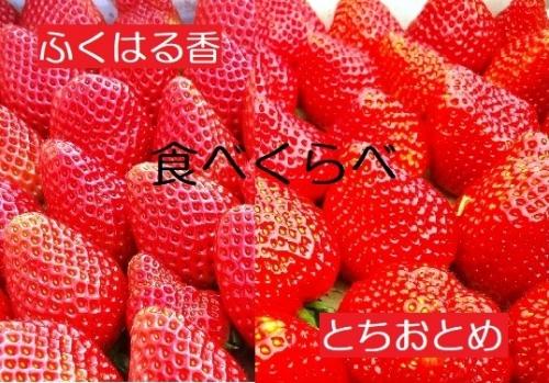 【ふるさと納税】伊賀いちご園のレギュラーパック食べ比べ2P(1パック280g×2品種)(合計2パックお届け)【18003】「ふくはる香」「とちおとめ」イチゴ ストロベリー strawberry