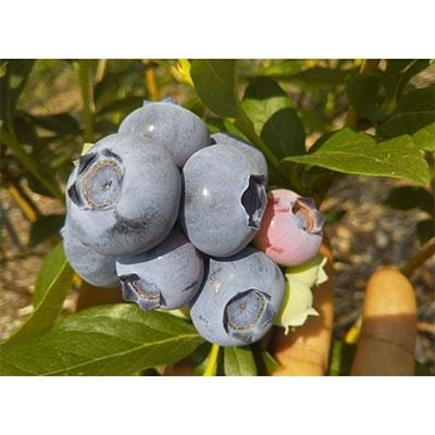 【ふるさと納税】ブルーベリー大粒生果 280g x 4pack (6~8月限定出荷) 【ブルーベリー南園】【1112401】