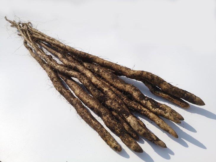 【ふるさと納税】〔D-35〕自然薯の種芋「むかご一本苗20g」60本 【予約品】※3月上旬頃から順次発送予定