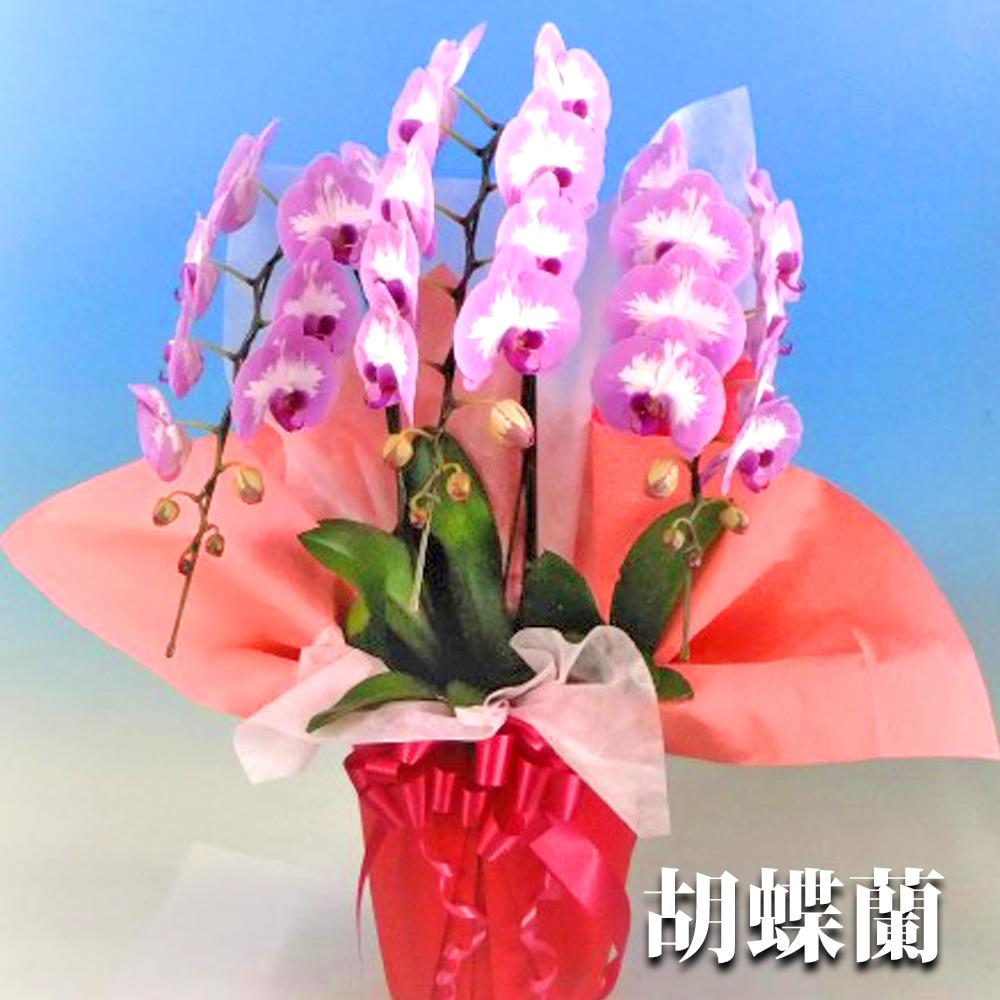 【ふるさと納税】胡蝶蘭 プリンセスローズ 3本立ち