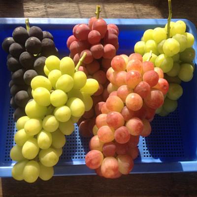 【ふるさと納税】中村葡萄園の旬の葡萄詰め合わせ 4kg箱※9月上旬頃から順次発送予定◆