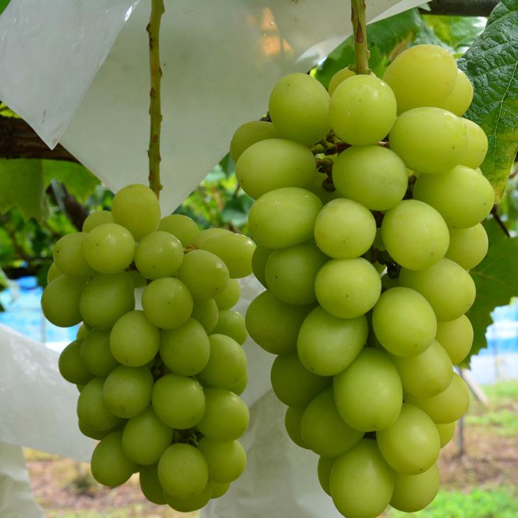 【ふるさと納税】中村葡萄園の旬の葡萄 シャインマスカット 2kg箱※9月上旬頃から順次発送予定