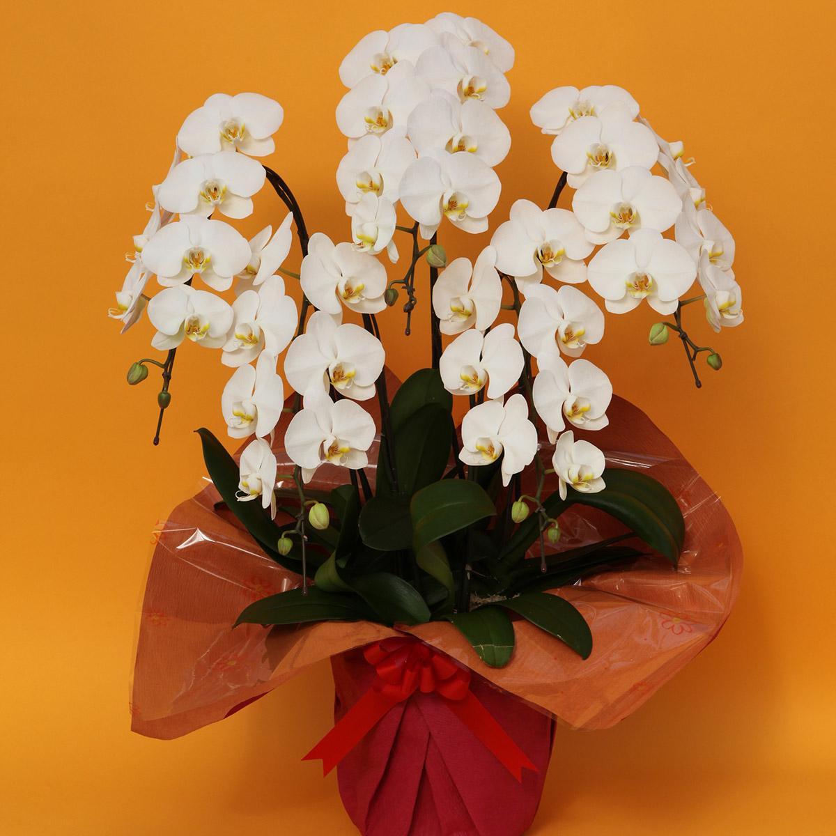 【ふるさと納税】デラックス大輪胡蝶蘭5本立白、鉢サイズ:8寸鉢、輪数:55輪程度、花色:白色、ラッピング:赤色