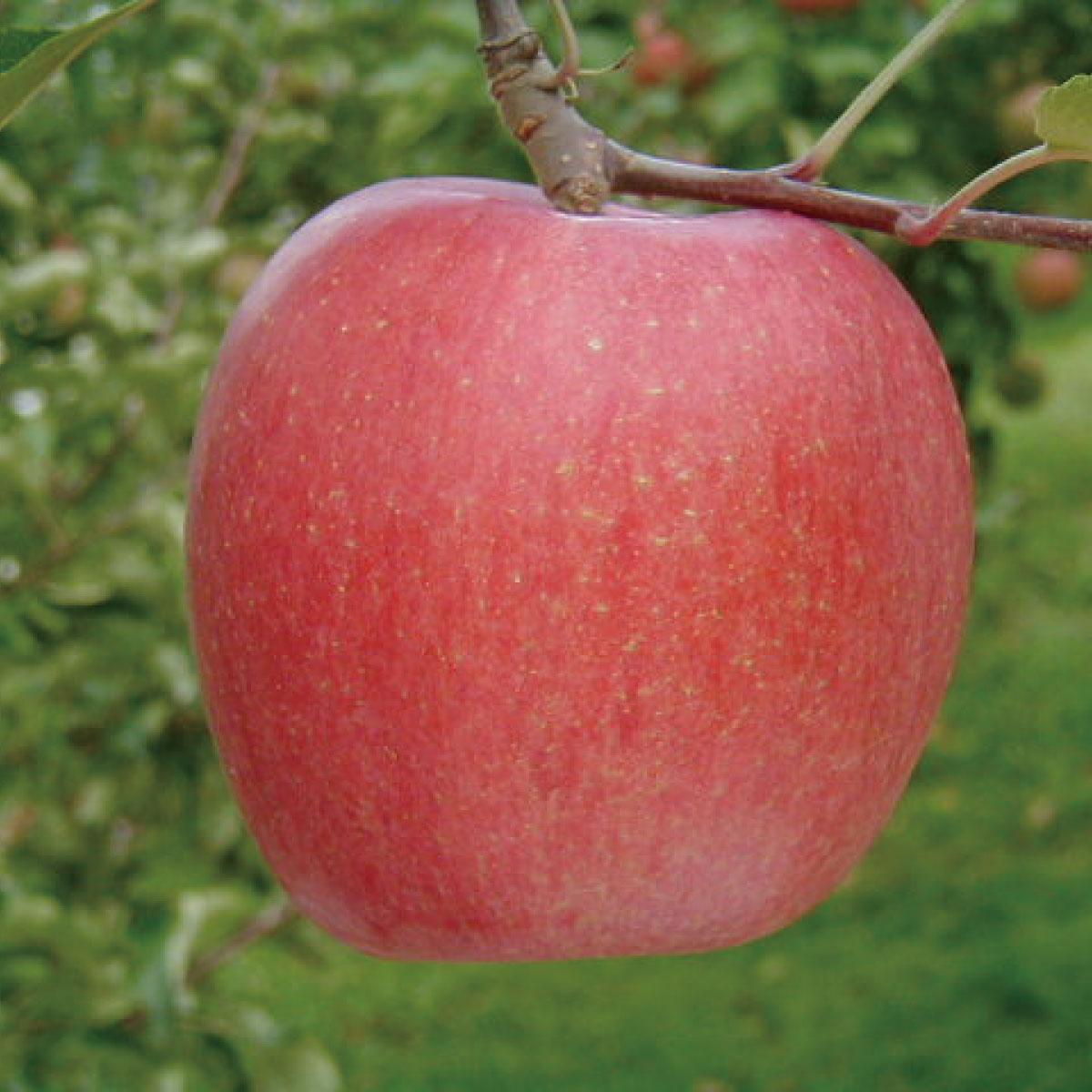 【ふるさと納税】≪12月初旬頃より発送≫りんご(サンふじ)約5kg《村石果樹園》【果物・フルーツ・林檎・りんご・リンゴ】