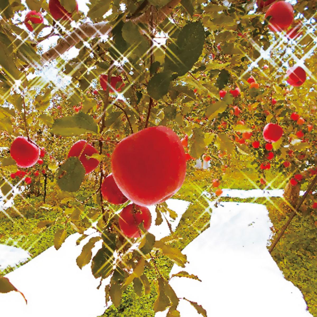 【ふるさと納税】【先行予約】≪11月上旬~順次発送≫朝採りサンふじ(林檎) 5kg【果物類・フルーツ・リンゴ・りんご】